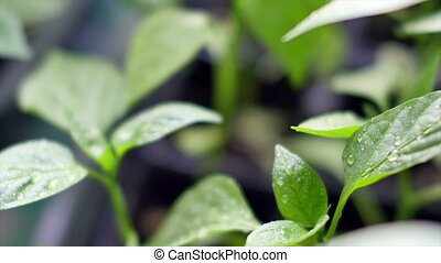 Young fresh seedling in plastic pots. - Young fresh seedling...