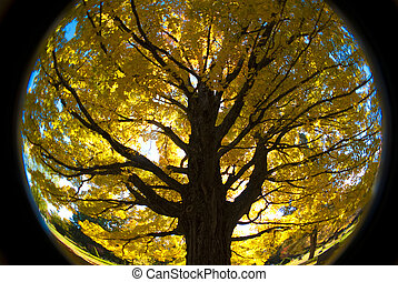 Golden maple tree back lit by sun shot with a fish eye lens...