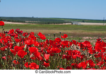 Poppies by the side of a field