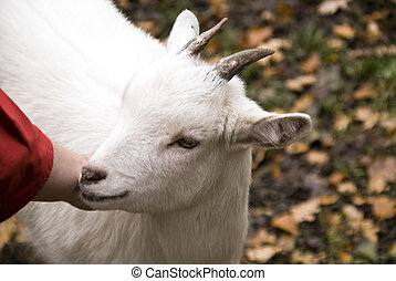 Goat - Close up of a goat