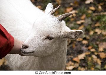 Goat - Close up of a goat