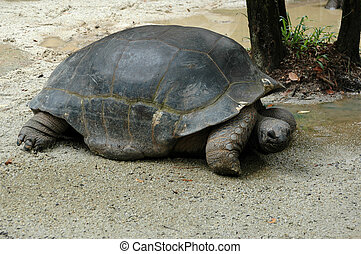 Giant Turtle on Riverbank Sarawak Borneo - Giant turtle on...