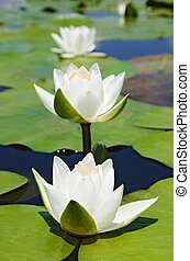 Three white lilies - Three water lilies on the lake