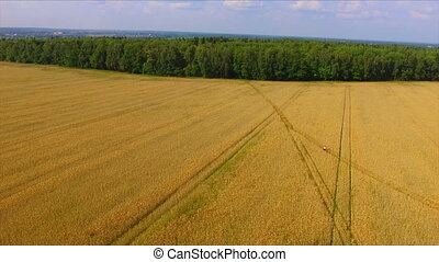 Man riding bicycle by the ripe rye field aerial view