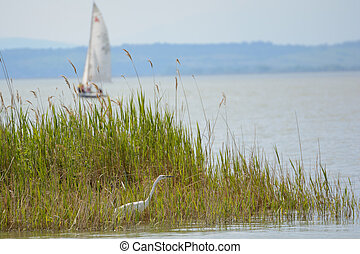 Heron in the reeds of Lake Neusiedl and sailboat - Austria -...