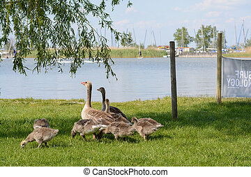 Greylag Geese with young on the beach - Austria - Grey Goose...
