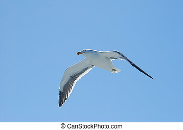 sea bird - Flying seagull in blue sky with open wings