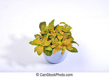Bright green fittonia - The leaves of this potted fittonia...