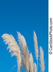 Pampas grass - Flowering pampas grass against blue sky...