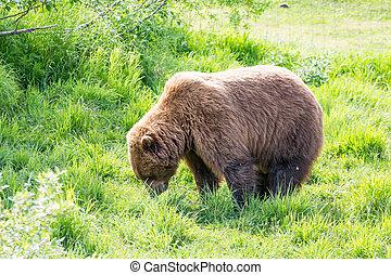 Oso pardo, pasto, oso