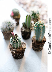Cacti - Home cacti on the table