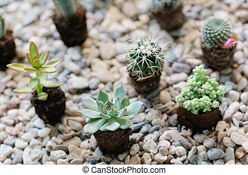 Cacti - Home cacti on the stone ground