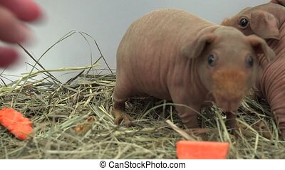 Hairless guinea pig. 4K. - Hairless guinea pig. Shot in 4K...