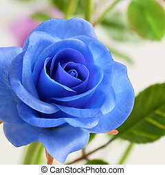 close up of blue rose flower