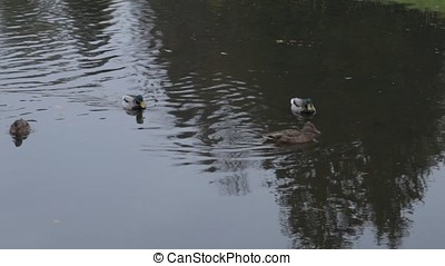 ducks on water in city park pond. wild ducks in the lake....