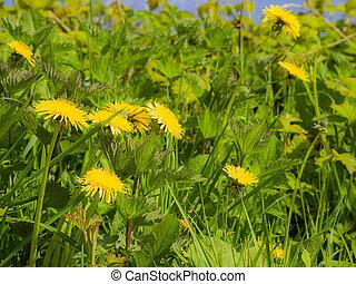 Weeds with Dandelions