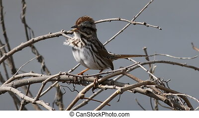 Song Sparrow, Melospiza melodia, in song - A Song Sparrow,...