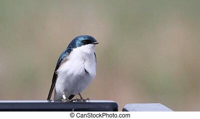 Tree Swallow, Tachycineta bicolor, resting - A Tree Swallow,...