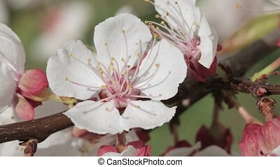 Close-up of a blooming apricot