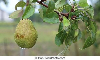 Close-up of a pear on a branch
