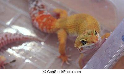 Yellow lizard. 4 - Yellow lizard. Shot in 4K (ultra-high...