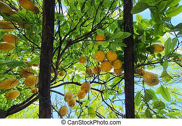 lemon garden pergola - Lemon garden in Sorrento, Naples,...
