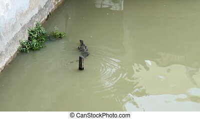 Large monitor lizard floats down the river channel. Chao...