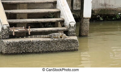 Large monitor lizard basked in the sun near river. Chao...
