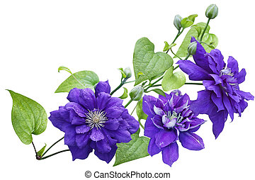Purple clematis Flower isolated on white background