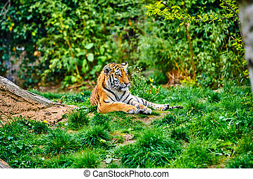 Siberian tiger. Panthera tigris altaica. beautiful  tiger