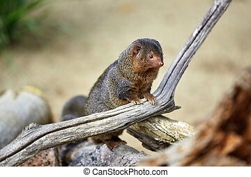 Dwarf Mongoose. Pygmy Mongoose