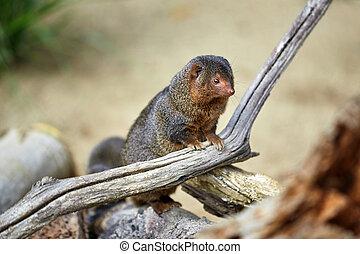 Dwarf Mongoose. Pygmy Mongoose
