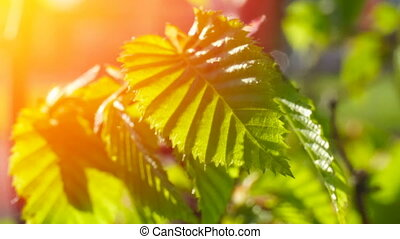 Fresh young green foliage bright sun light, close up shot....