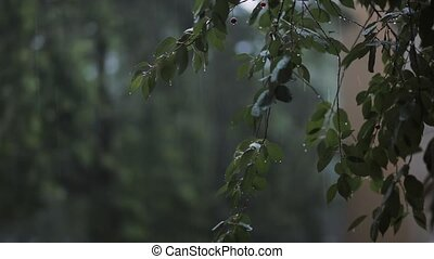 Rain on green leaves of trees. Wind blows branches with...