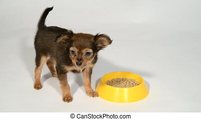 Puppy toy terrier eats from a bowl. - Puppy toy terrier eats...