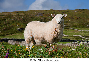 A sheep in Ireland - Sheep in Ireland