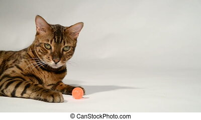 Bengal cat is playing on a white background. - Bengal cat on...