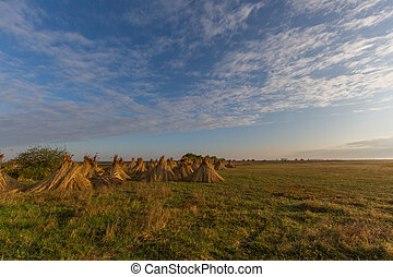 bundles of reed for drying with blue sky and clouds -...