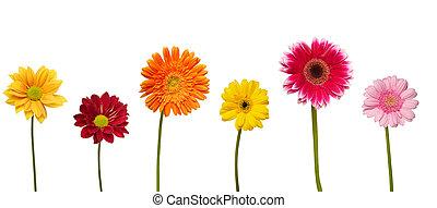 flor, naturaleza, jardín, botánica, margarita,...