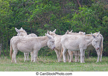 white donkeys standing in meadow - natural white donkeys...