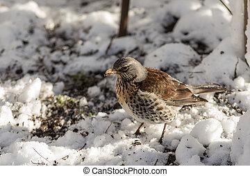 Fieldfare on snow - Fieldfare looks for food under the snow...