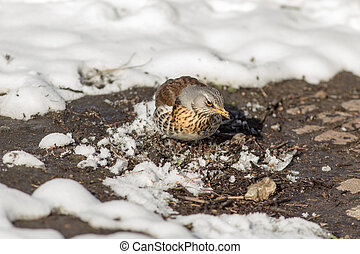 fieldfare on a sunny spring day after a snowfall