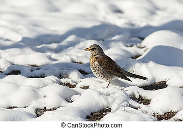 portrait of fieldfare in spring day after a snowfall