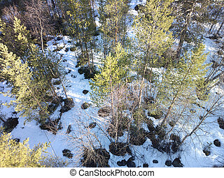 view of pine trees from top down. Spring forest