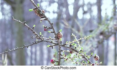 Flower on a coniferous tree