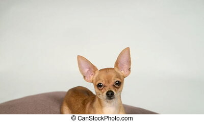 Dog toy terrier on a pillow on a white background.