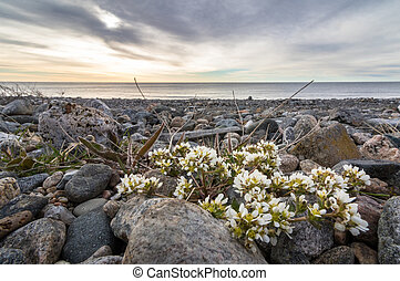 Common Scurvygrass, Cochlearia officinalis, on the pebble...