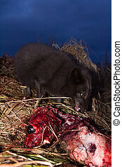 Blue foxes come at night to devour carcasses of seals - Blue...