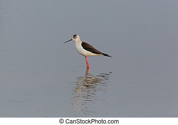 portrait of common stilt (Himantopus himantopus) standing in...