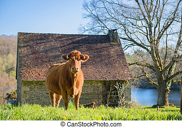 Limousin cows in landscape - Limousin cow in green French...